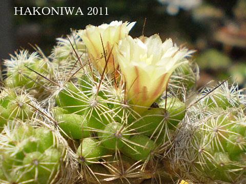 銀手毬花5