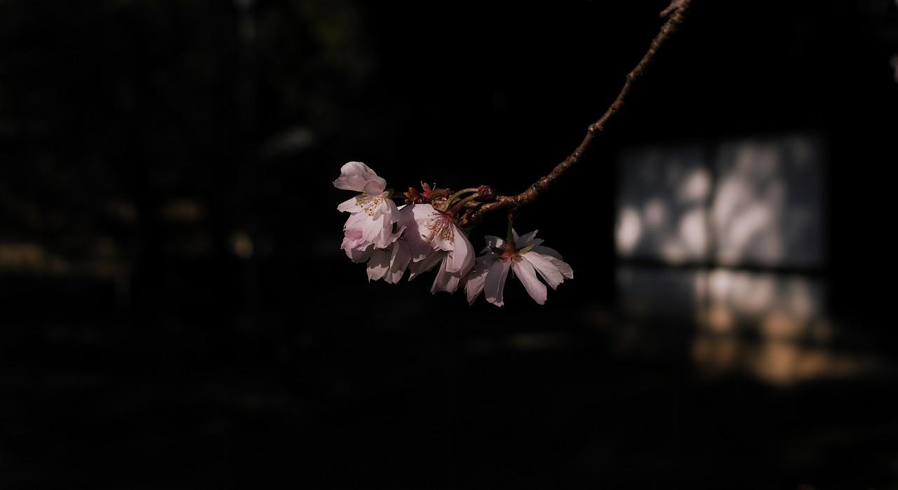 元旦桜A12