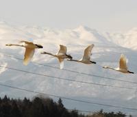 161白鳥群れ