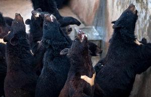 t_APX201202230006中国のクマ