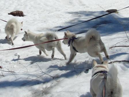 4.17白犬4頭のお散歩