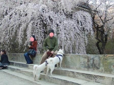 4.16お濠沿いのしだれ桜の前で
