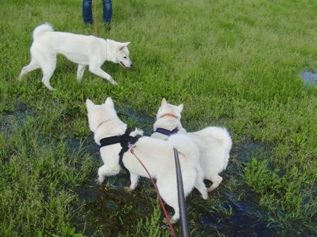 5.24水たまりで遊ぶ3頭