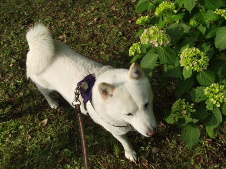 6.3紫陽花と花