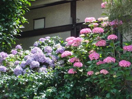 6.9お向かいの紫陽花