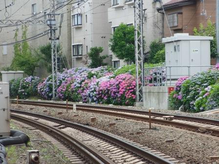 6.23井の頭線沿線の紫陽花