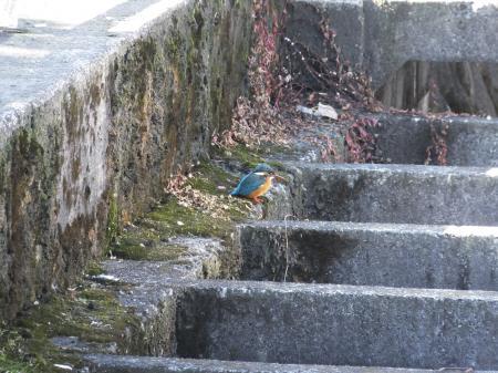 八瀬川のカワセミ・田名テラス付近