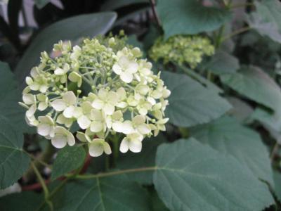 アナベル 花