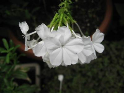 ルリマツリ  ホワイト
