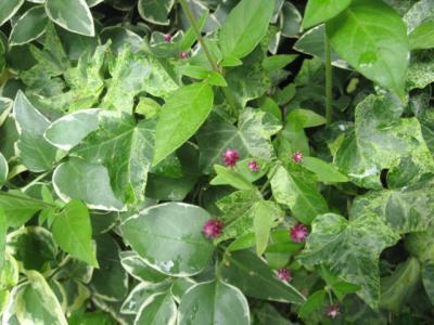 斑入り葉っぱ