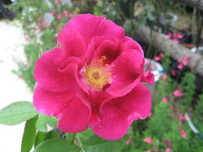 つるバラ ナイトオウル