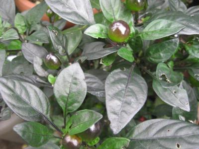 花トウガラシ ブラックパール