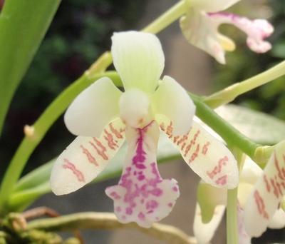 ナゴランの花