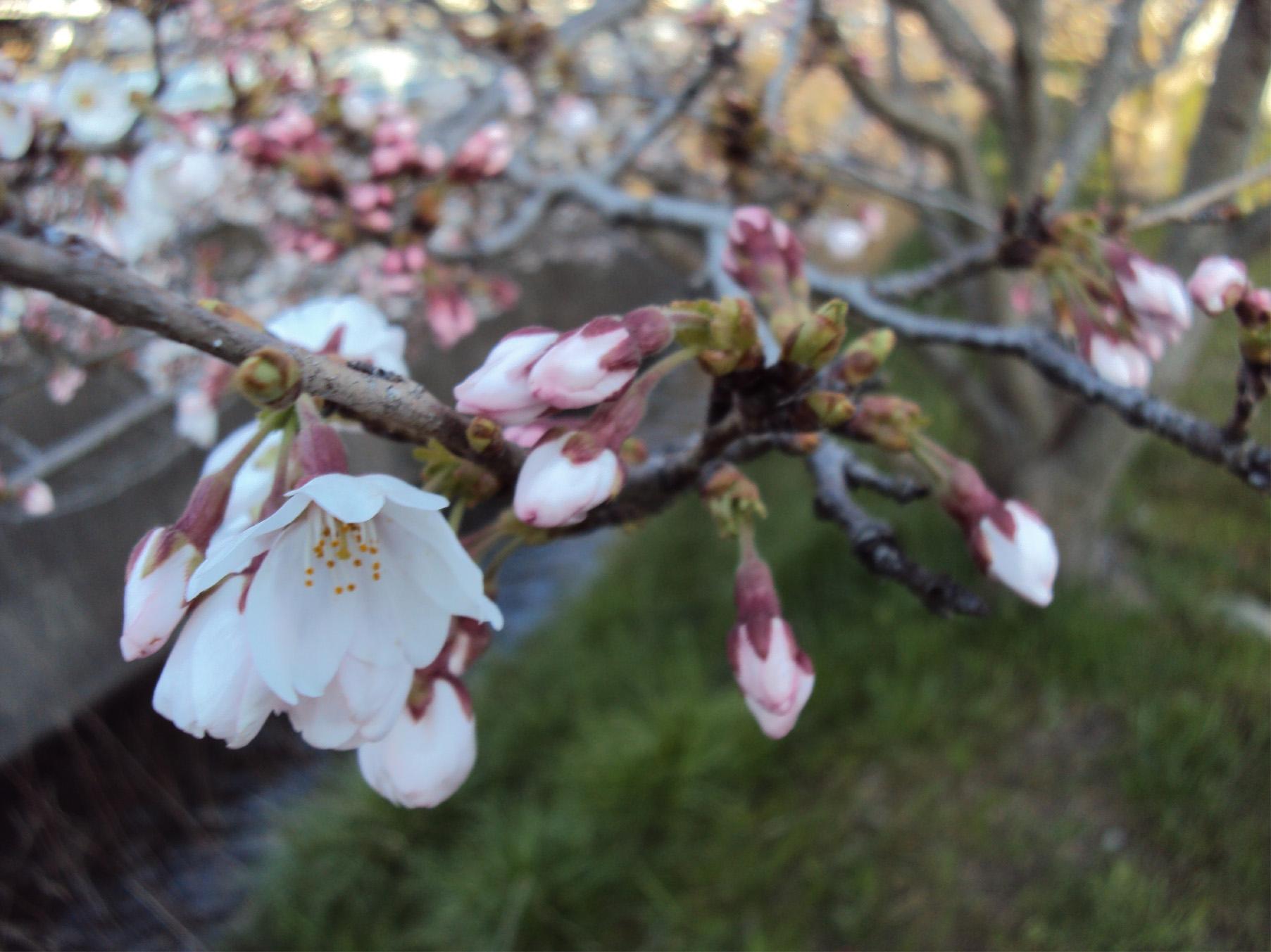 桜_20120406
