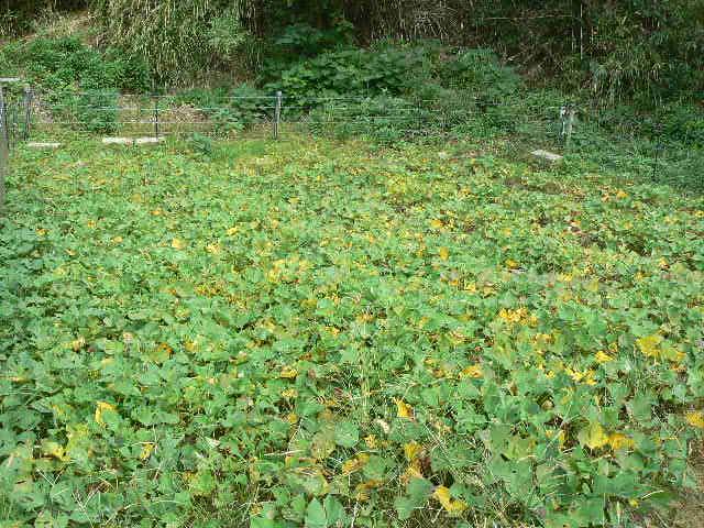 志賀島の別院のカラ芋の畑です