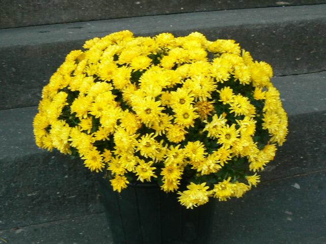 11月23日早咲きの黄色小玉菊①