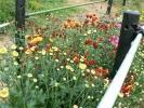 11月7日満開の菊②