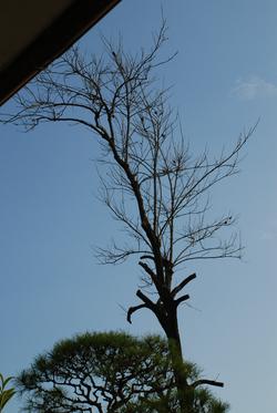 柿の老木19