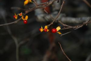 蔓梅もどき15