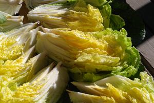 キムチ用白菜10
