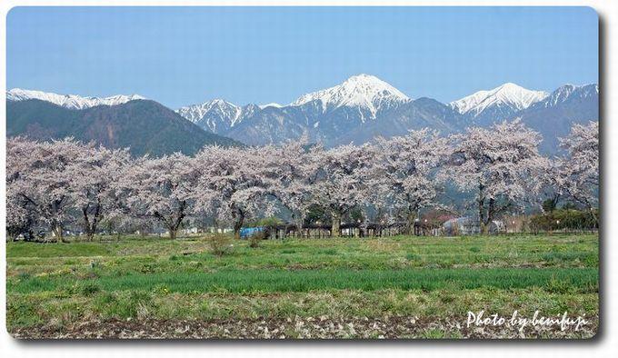 常念岳と桜a
