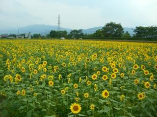 岐阜県大垣市青野町のひまわり畑