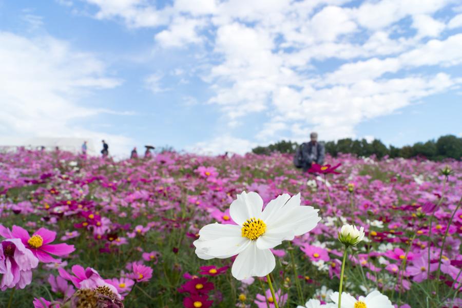 20141031_万博記念公園コスモスフェスタ_6