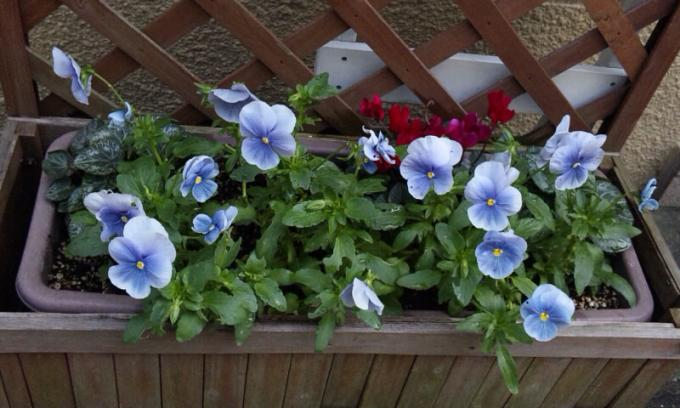 Pansy_20110521