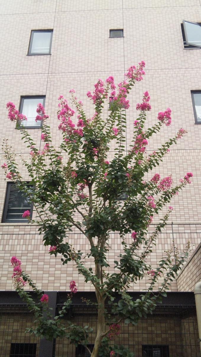 百日紅(サルスベリ)_20110902