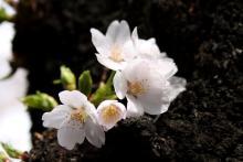 花満開-1