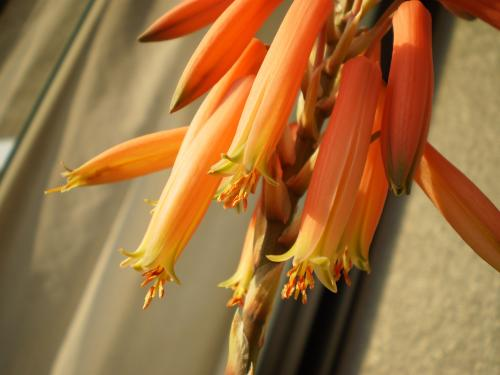 アロエの花2