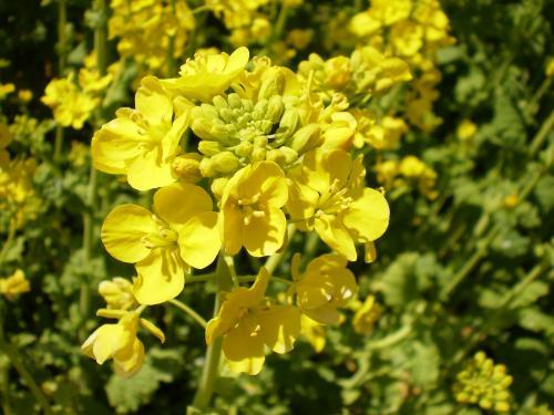 菜の花UP