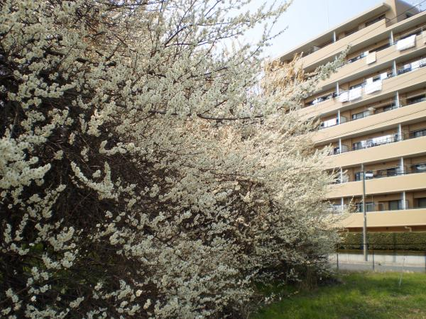 梅とマンション