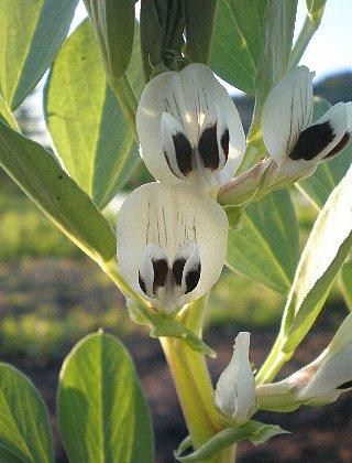 ソラマメ花