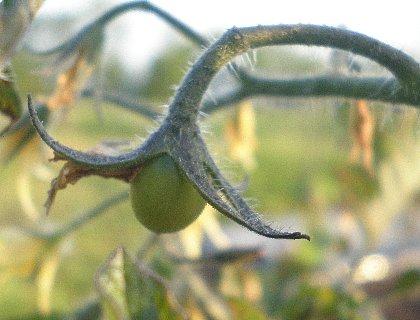 ミニトマトの実 生り始め