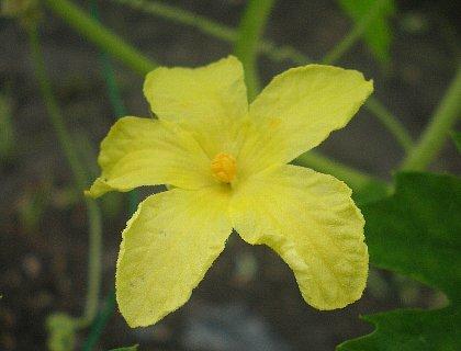 白ゴーヤ花