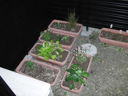 ジャスミン献花の植え替え