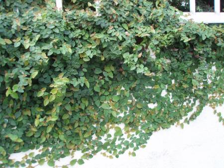 壁面緑化作戦中