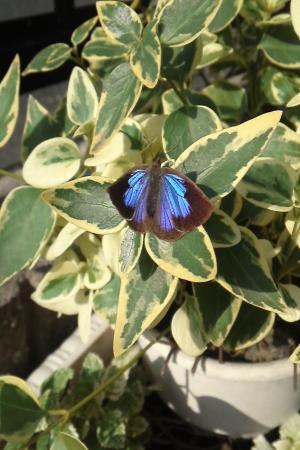 蝶々11.12.2