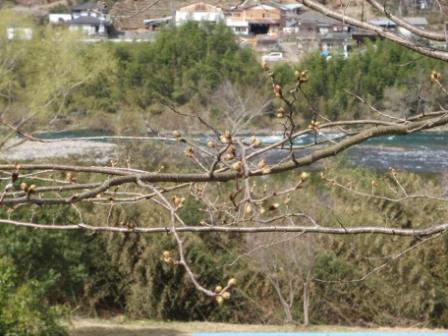 3.22桜前線