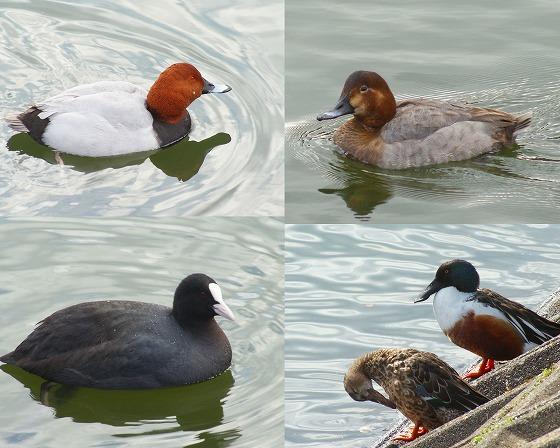 090123岩田池の水鳥