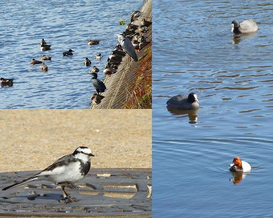 100108岩田池の水鳥とセキレイ