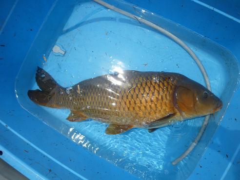鯉 80cm 7.2kg ①