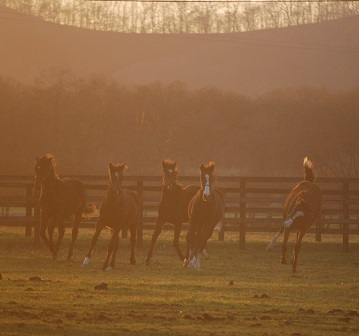 11・繁殖・当歳牝馬夕景