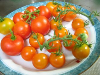 20100727トマト収穫