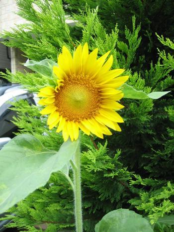 2010 08 14 ひまわり開花