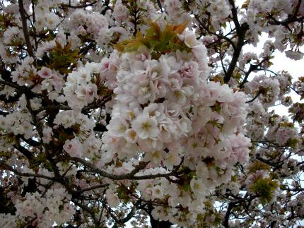 cerisier_430.jpeg