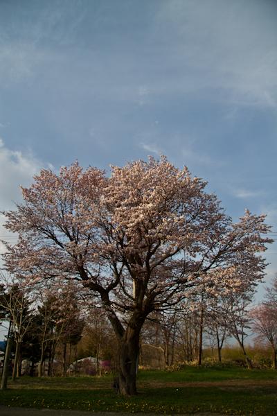 気象台は桜が満開と発表