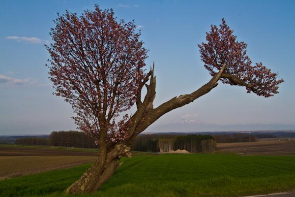 路傍の老桜