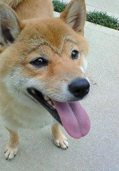 眉毛犬 桜太
